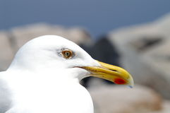 Seagull Head Royalty Free Stock Photography