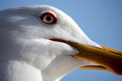 Seagull head Royalty Free Stock Photo