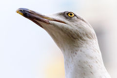 Seagull head bird look high Royalty Free Stock Photos