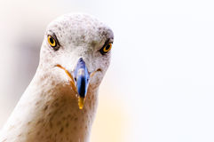 Seagull head bird Royalty Free Stock Photos