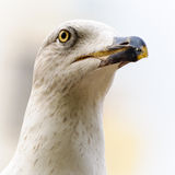 Seagull head portrait Stock Images