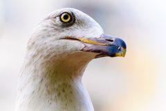 Seagull head portrait Royalty Free Stock Photos