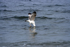 Seagull with head in sea Stock Photos