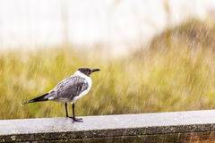 Seagull in heavy rain Stock Photography