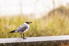 Seagull in heavy rain Stock Photography