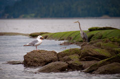 Seagull Eating Starfish With Heron In Background Stock Images