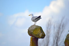 Seagull on a high vantage point against a beautiful sky Stock Image