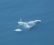 Seagull hitching a ride Stock Images