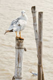 Seagull hold on bamboo Royalty Free Stock Photos
