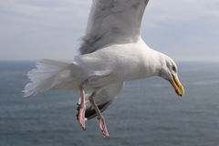 Seagull Holding Food Stock Image