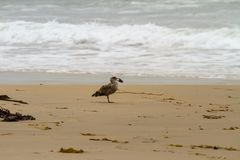Seagull holding something in its beak royalty free stock photos