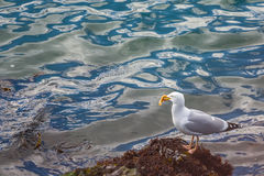 Seagull holding yellow starfish in beak Stock Photos