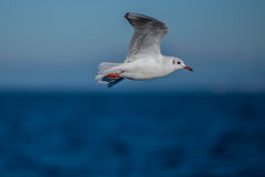 Seagull on a horizont. Seagull is flying with a sea horizontal line Stock Photos