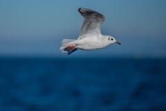 Seagull on a horizont Stock Photos