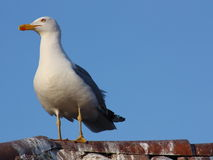 Seagull on a house roof. A beautiful seagull rests on a house roof Stock Photography