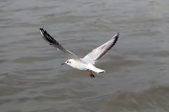 Seagull hover over deep blue sea. royalty free stock image