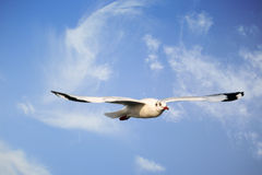 Seagull hovering Stock Images