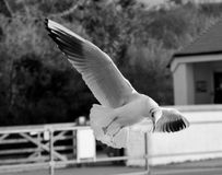 Seagull. A seagull hovering in flight in black and white Stock Photo