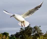 Seagull. A seagull hovering in flight with wings outstretched Stock Images