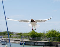 Seagull hovering. Seagull in a harbour hovering above the water Royalty Free Stock Images