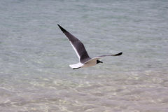 Seagull hovering Royalty Free Stock Photo