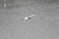 Seagull hovering over lead colored autumn water stock image
