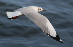 Seagull is hovering over the ocean Stock Images