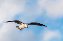 Seagull hoverng Royalty Free Stock Photo