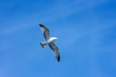Seagull hovers in sky Stock Image