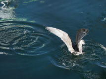 Seagull hunting for food, wings spanned Stock Photo