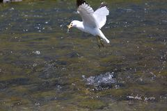 Seagull hunting in a river. A seagull is hunting in a river near yellowstone national park Stock Photography