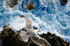 Seagull hunting at the sea Royalty Free Stock Photo