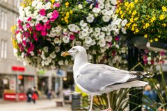 Seagull i Aberdeen i Skottland Royaltyfri Bild