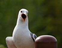 Seagull i Alaska Arkivfoton