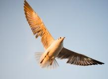 Seagull i BangPu, Thailand Fotografering för Bildbyråer
