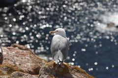 Seagull i Berlengas Arkivbilder