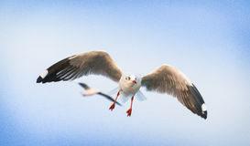 Seagull i blå himmel Royaltyfria Foton