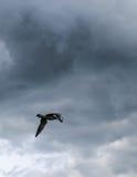 Seagull i den besvärade himlen royaltyfria bilder