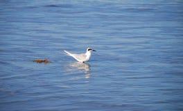 Seagull i det blåa havet arkivfoton