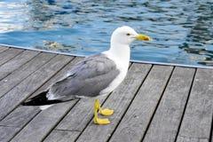 Seagull i en hamn, nära havet Fotografering för Bildbyråer