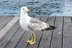 Seagull i en hamn, nära havet Royaltyfria Foton