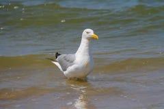Seagull i ett vatten av Nordsjön i Zandvoort, Nederländerna Arkivbild