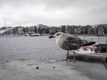 Seagull i fjärden Royaltyfri Bild