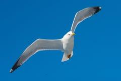 Seagull i flyg Royaltyfri Bild