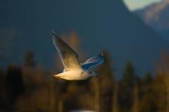 Seagull i flyg Royaltyfri Fotografi