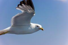 Seagull i flyg Royaltyfria Bilder