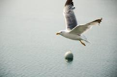Seagull i flyg Arkivfoton