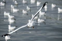 Seagull i flyg Arkivfoto