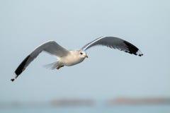 Seagull i flyg arkivbild