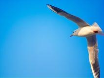 Seagull i flyg Royaltyfri Foto